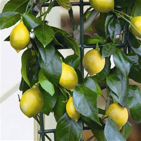 mini fruit trees 17 best ideas about miniature fruit trees on