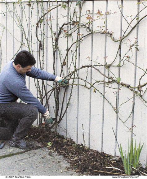 pruning climbing roses fine gardening article roses pinterest gardening roses and
