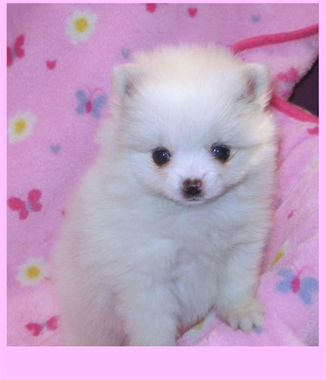 different colored pomeranians pomeranian colors poofy poochies