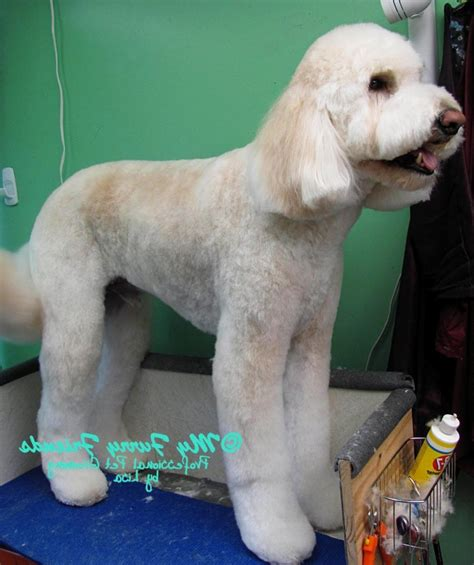 how to bathe a goldendoodle puppy grooming photos of goldendoodles
