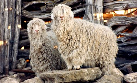 livestock texas sheep goat raisers association