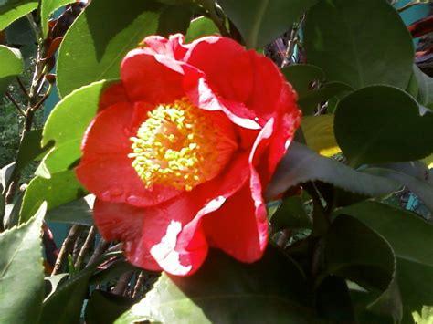 Biji Bunga Pucuk Merah 6 manfaat dan khasiat bunga cempaka merah untuk kesehatan khasiat
