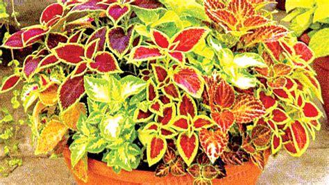 coleus in contemporary gardens saturday magazine the guardian nigeria newspaper nigeria