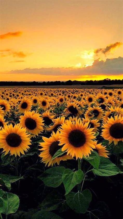 lockscreens sunflower requested lockscreens
