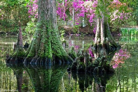 Cypress Gardens Charleston Sc cypress gardens charleston sc usa beautiful nature