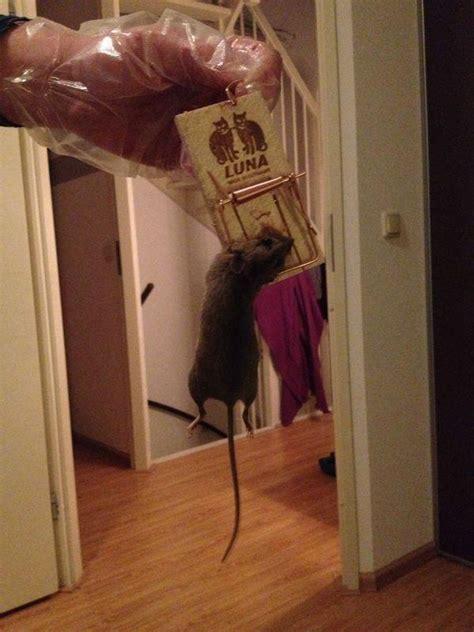 Muizen In Plafond Bestrijden by Muis Of Rat Heeft Zelf Bestrijden Zin Moestuin Forum