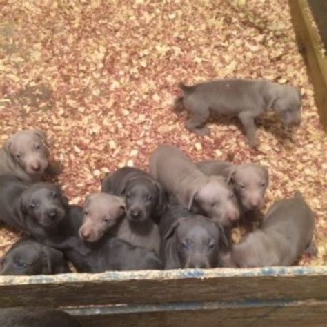 weimaraner puppies az weimaraner puppies and dogs for sale and adoption freedoglistings