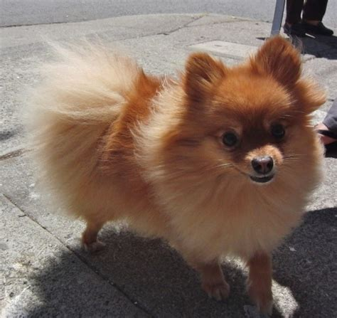 pomeranian stuff of the day pomeranian stuffed animal the dogs of san franciscothe dogs of san