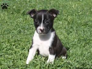 boston terrier mix puppies for sale boston terrier mix for sale