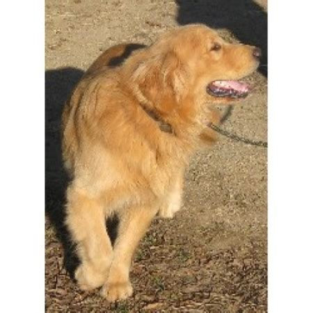 golden retriever breeder nc seasons gold golden retriever breeder in harrisburg carolina listing id 15199