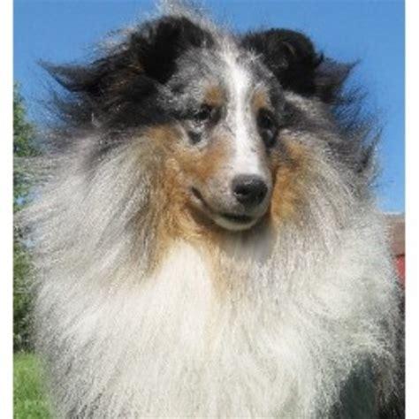 sheltie puppies ohio bach shelties shetland sheepdog breeder in troy ohio 45373 freedoglistings id