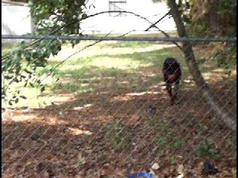 rottweiler duck rottweiler vs mallard duck for milkbone funnydog tv