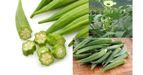 Jual Alat Hidroponik Di Jember jual benih okra hijau varietas 100 gram