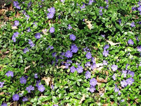 periwinkle great ground cover gardening canvas pinterest