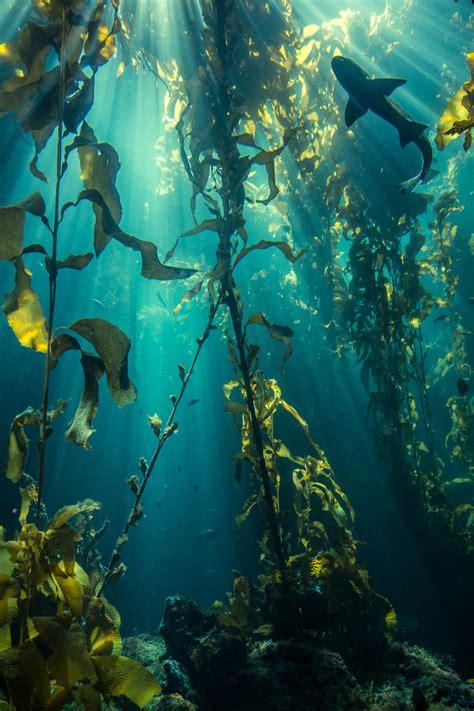 Kelp Song shark in a kelp forest underwater world