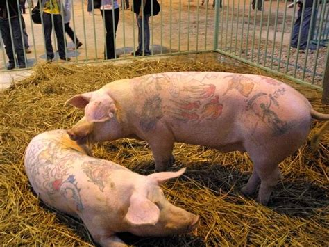 tattooed pigs steve cohen tattooed pig business insider