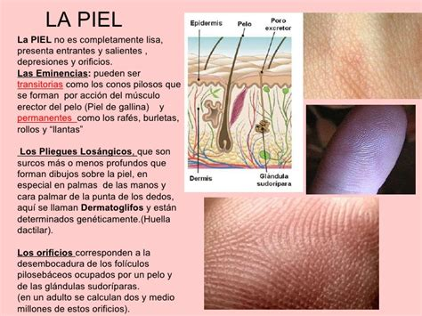 en la piel de 1 fisiologia de la piel