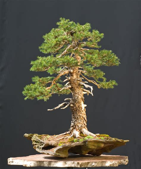 bonzi tree spruce and bonsai kyriolexy