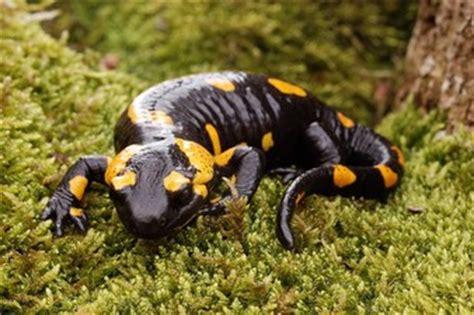 la salamandra fauna en 8498254493 coloraci 243 n en anfibios