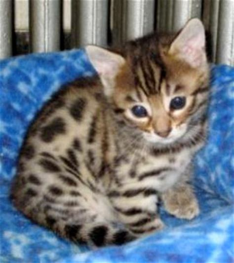 baby bengal kitten prices animals plants rainforest bengal cat price just side