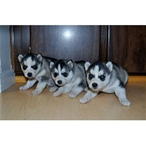 siberian husky puppies for sale mn mn sweet siberian husky puppies for adoption
