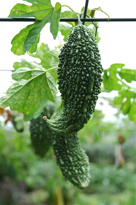 Chinese Vegetables: Warm Season Varieties   Harvest to Table