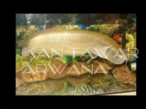 desain aquarium air tawar arwana ikan hias air tawar aquarium youtube
