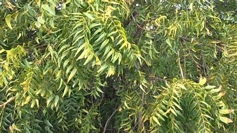 Nim Nim 193 rbol nim azadirachta indica www riomoros