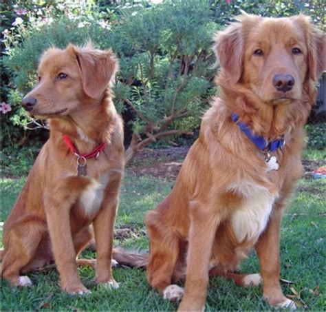 barnes puppy kennels scotia duck tolling retriever photos pictures