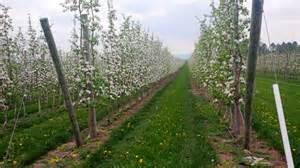 apple tree trellis ontario apple growers growing apples on a trellis