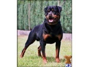 rottweiler puppies for sale evansville indiana rottweiler puppies in indiana