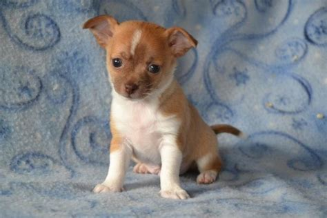 craigslist chihuahua puppies for sale chihuahua pups puppyindex