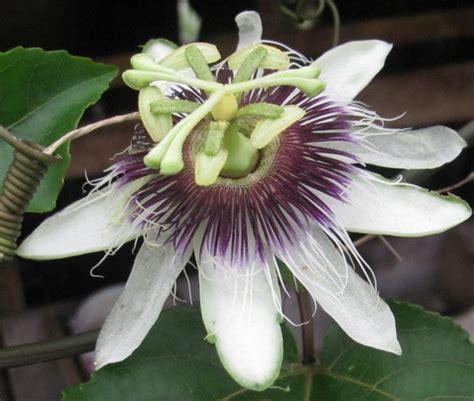 Jual Bibit Pohon Markisa tanam buah markisa yuk jual bibit bunga