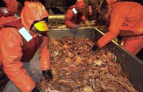 the hunt for snow crabs deadliest catch discovery image gallery opilio crab