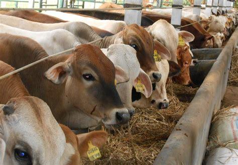 Tempat Pakan Ternak Sapi inilah cara jitu menggemukkan ternak sapi potong anda