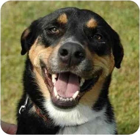 bernese mountain lab mix rowdy adopted olive branch ms bernese mountain labrador retriever mix