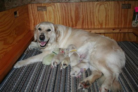 dew claws golden retriever golden retriever puppies in wisconsin