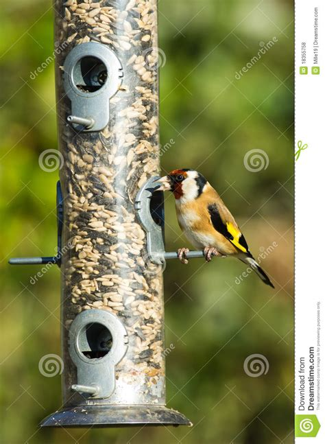 goldfinch on feeder stock photo image of nature feeding