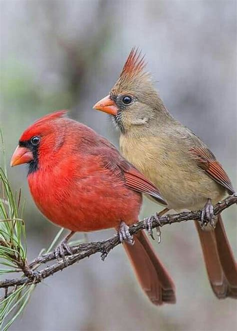 mr and mrs redbird in pine tree greeting card for sale