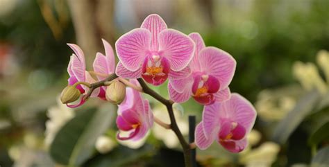 orchidea significato dei fiori orchidee il significato e la coltivazione