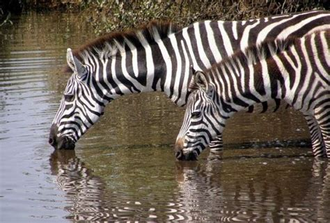 imagenes de jirafas tomando agua animales vertebrados peces anfibios reptiles aves y