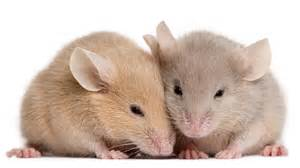 mice feel each other s pain science aaas