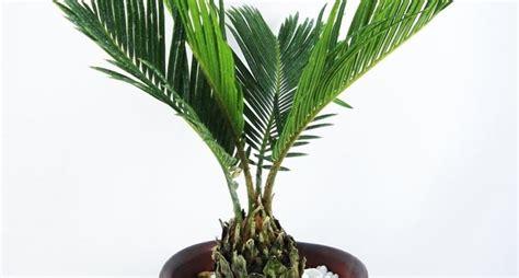 palme da terrazzo palma alberi coltivare palma malattie palma