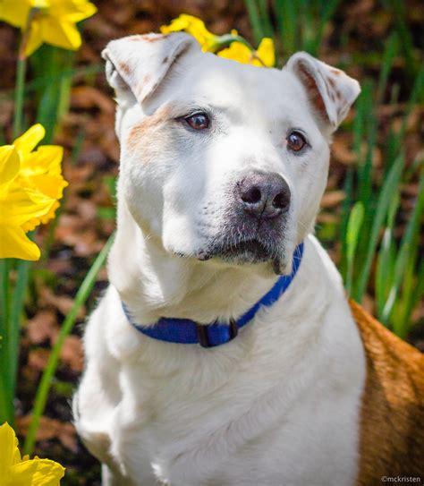 seattle puppy adoption ladys rescue seattle adoption