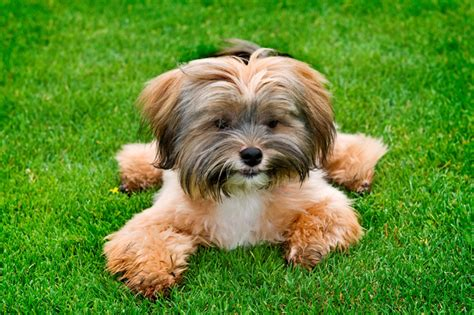 shih tzu puppy names names by breed dogtime