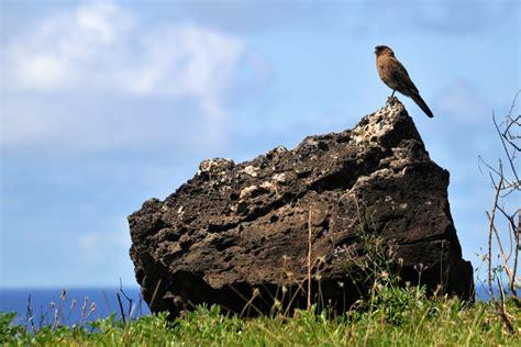 easter island birds easter island hawk 1 by wildplaces on deviantart