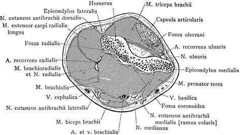 arm cross section cross section of arm through epicondyles clipart etc