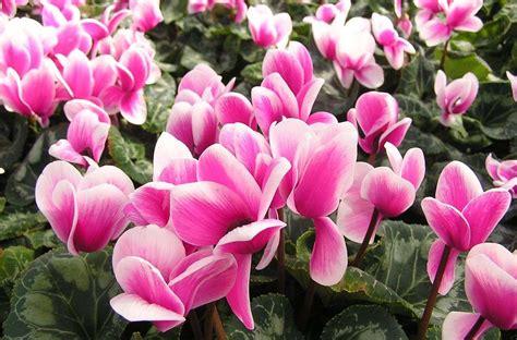 fiori invernali in vaso fiori invernali colora il tuo balcone thesignofcolor