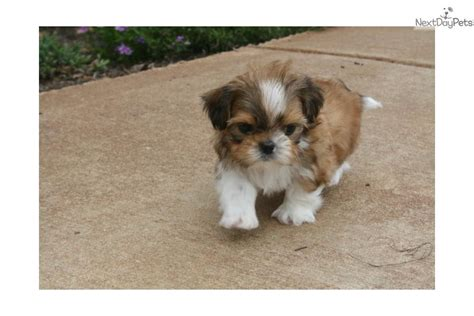 shih tzu puppies in arkansas shih tzu puppy for sale near rock arkansas fdce005f 4df1