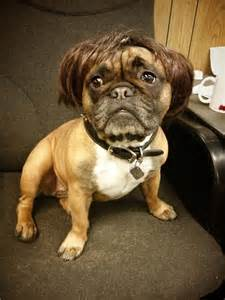 Adorable french bulldog in a wig my what a fashionable little guy